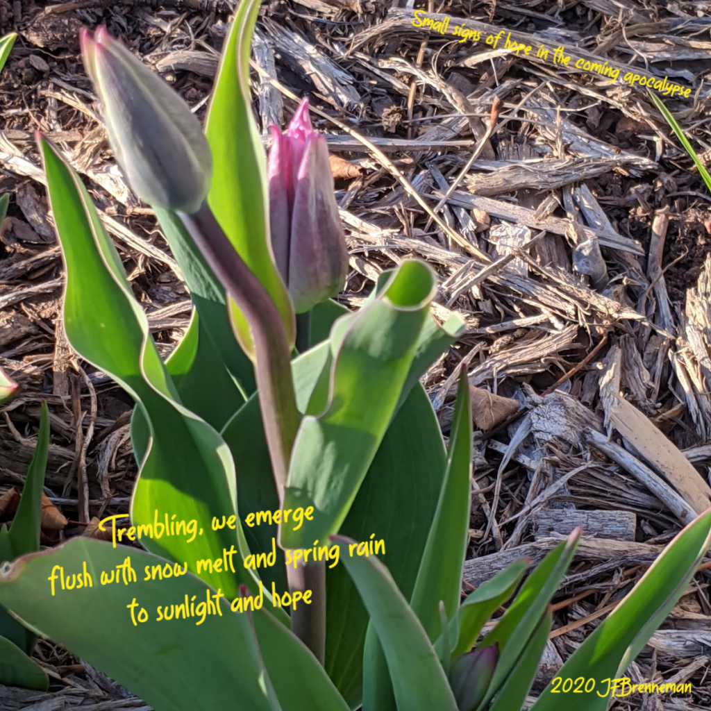 Emerging tulip bulbs against wood mulch background; text overlaid on image.