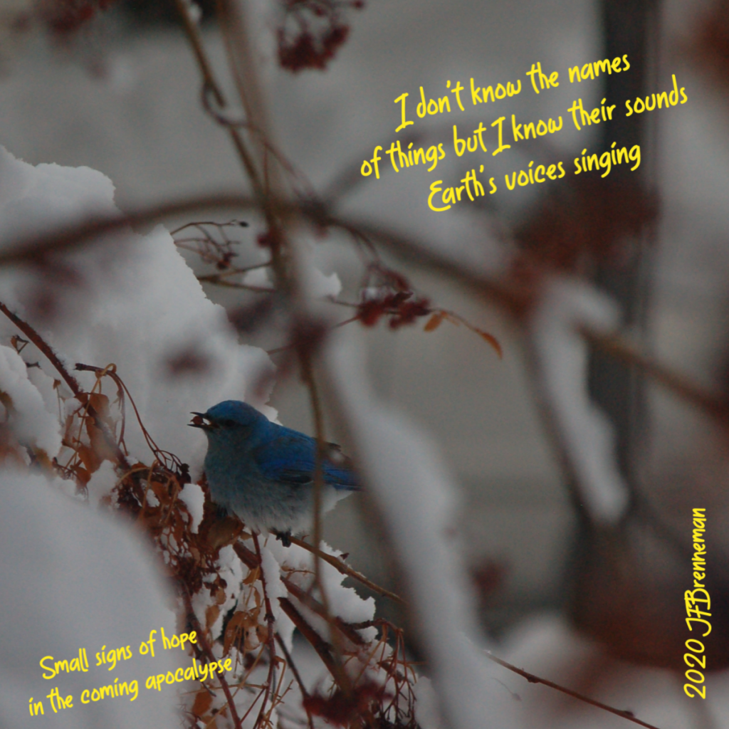 Mountain bluebird holding red berry in its beak, surrounded by snow-covered branches; text overlaid on image