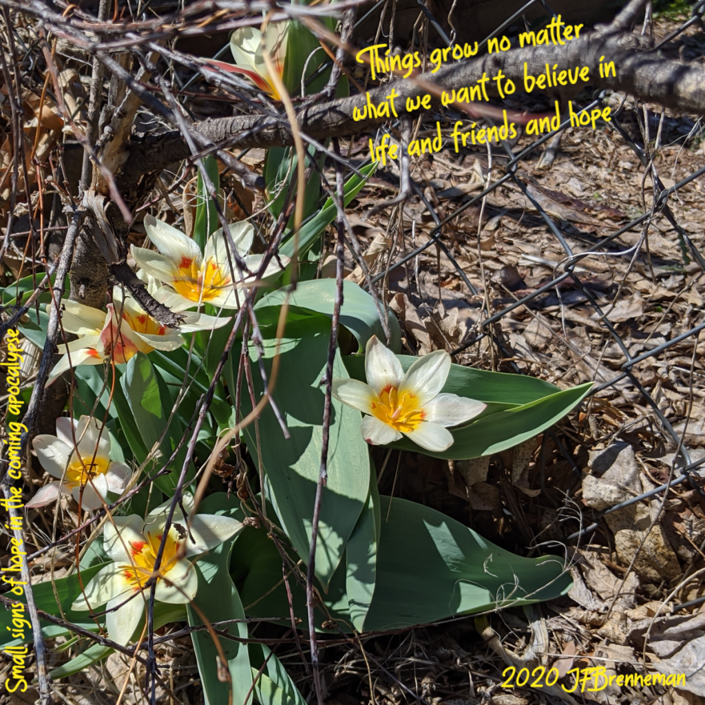 volunteer tulips growing out of leaf litter and bare branches through a chainlink fence; text overlaid on image