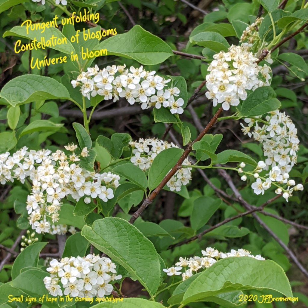 Clusters of white blossoms and green leaves growing on branches; text overlaid on image