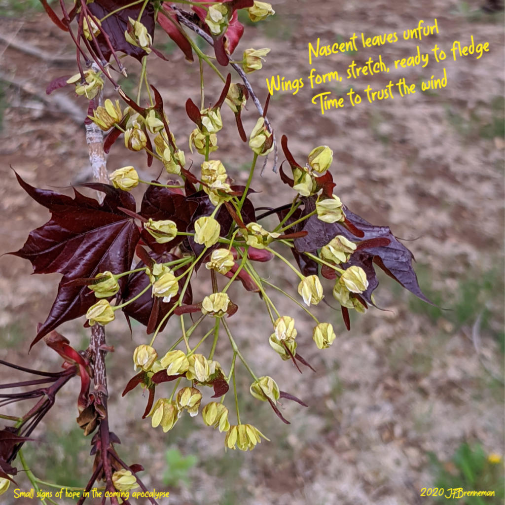 "new maple leaves and almost-ready-to-launch ""helicopter seeds"" (samaras); text overlaid on image"