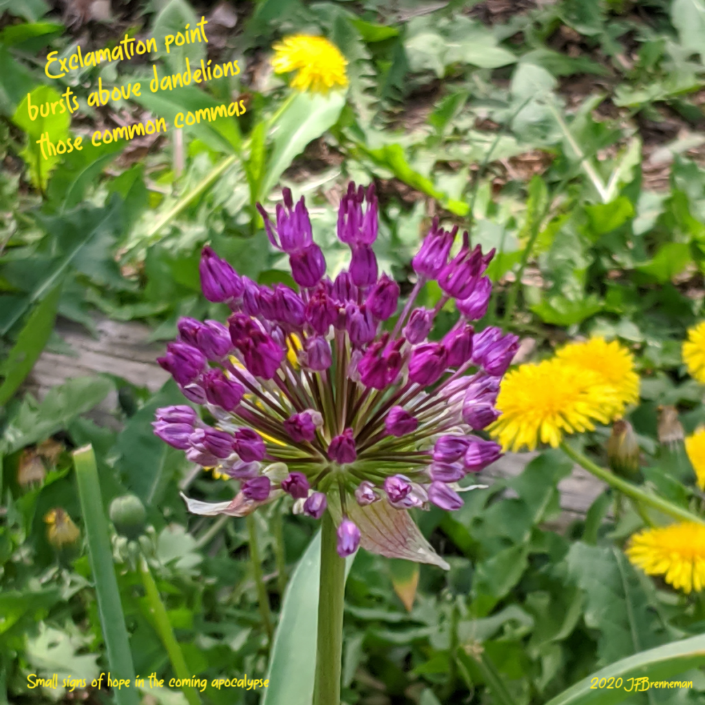 Ball of purple blossoms at top of tall green stalk, grass and dandelions in background; text overlaid on image.