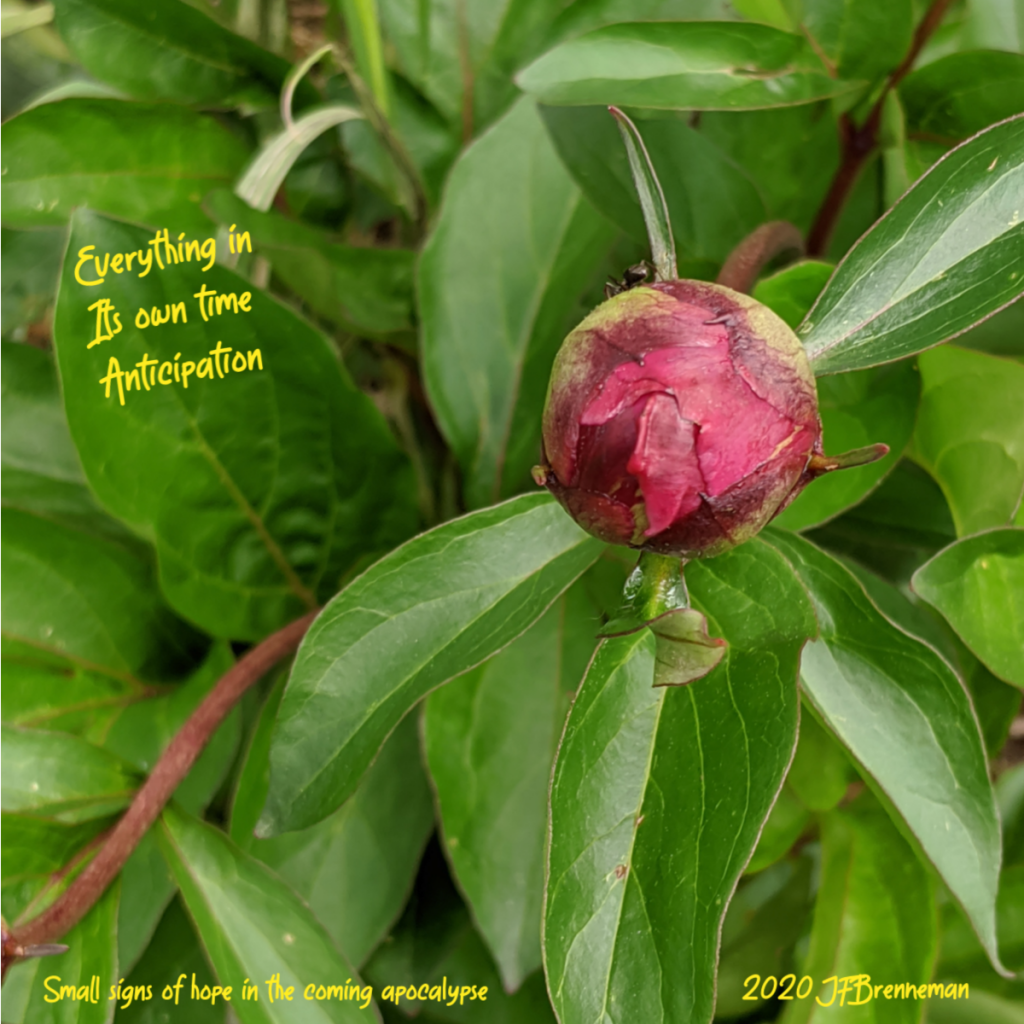 tight red peony bud with ant on far edge, peony leaves fill background; text overlaid on image