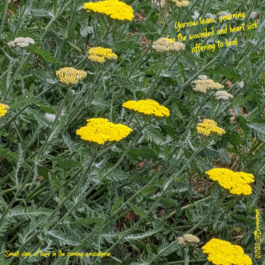 bright yellow yarrow and leaves; text overlaid on image
