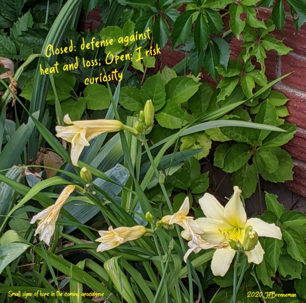 Small cluster of yellow day lillies, blossoms closed against heat, one blossom open; text overlaid on image