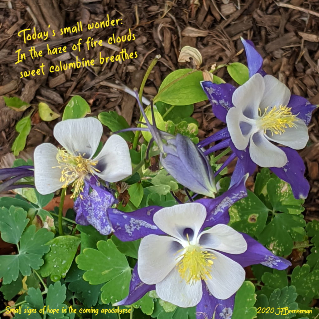 purple and white columbine blossoms, text overlaid on image