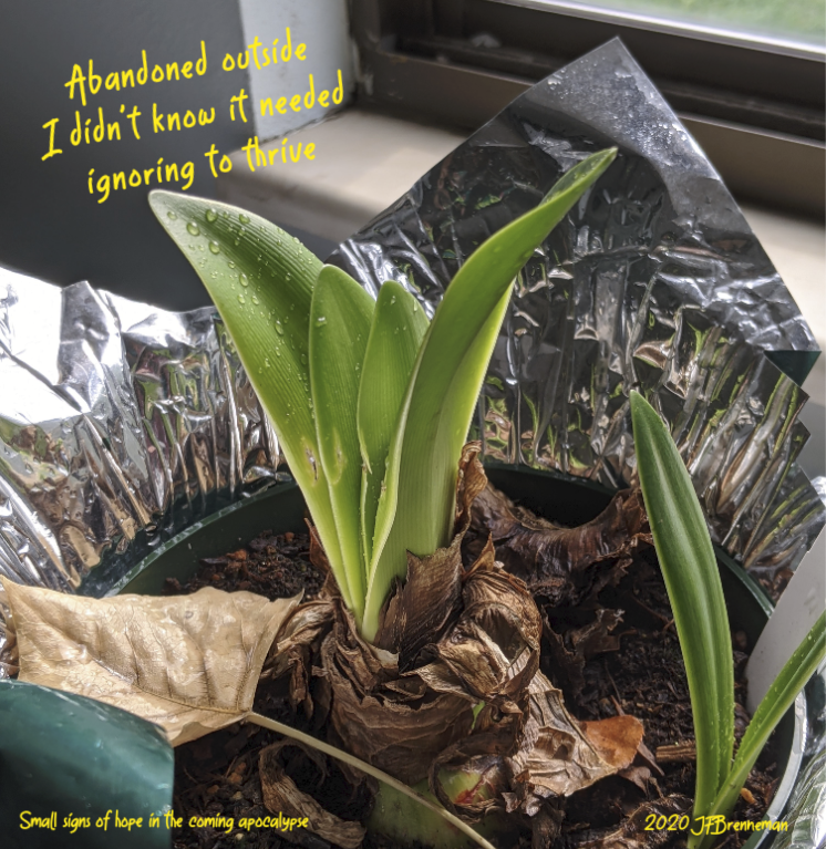 Amaryllis sprouting from old bulb; text overlaid on image