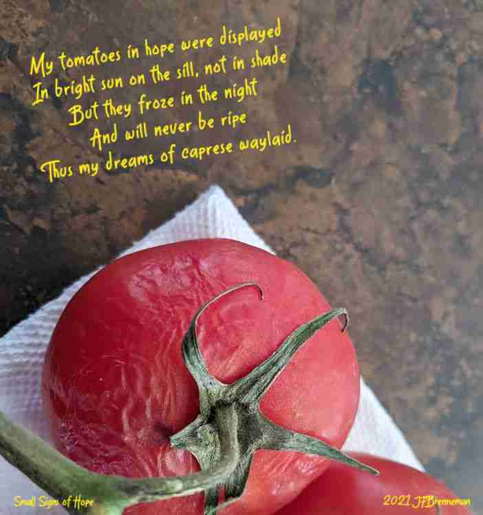 Frozen under-ripe tomatoes on windowsill; text overlaid on image