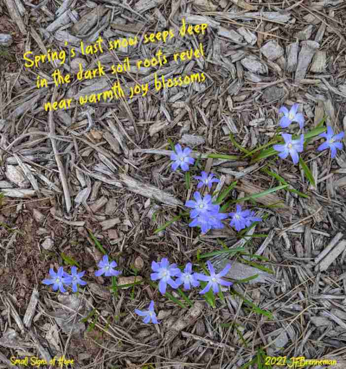 Newly blooming Glory-of-the-Snow (Chionodoxa forbesii) in wood-mulch covered flower bed; text overlaid on image.